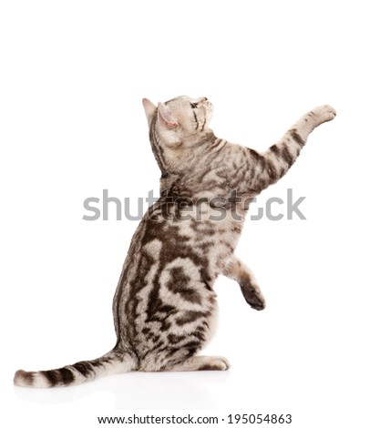 playful tabby cat in profile. isolated on white background - stock photo