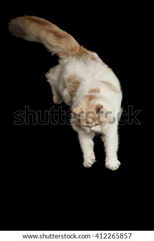 Playful White Scottish Highland Straight Bicolor Cat with Furry Tail Jumping from side Isolated on Black Background - stock photo