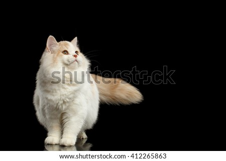 Playful White Scottish Straight Bicolor Cat with Furry Tail Standing and Looking up Isolated on Black Background - stock photo