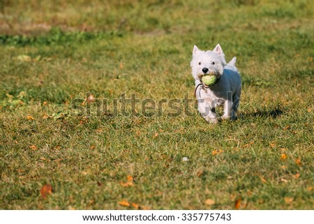 Playful White West Highland White Terrier - Westie, Westy Dog Runnig on Green Grass With Ball - stock photo