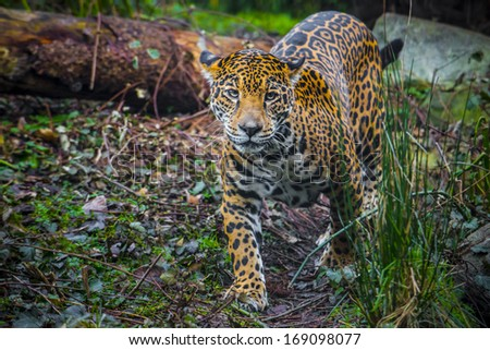 Playful young beautiful jaguars in the jungle - stock photo
