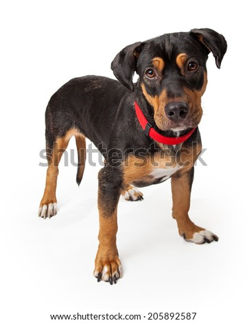 Playful young Rottweiler dog standing alert looking into camera - stock photo