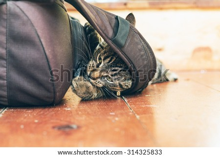 Playful young tabby cat chewing on backpack lying on wooden floor in home. - stock photo