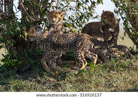 Playing Cheetah cubs in Masai Mara, Kenya - stock photo
