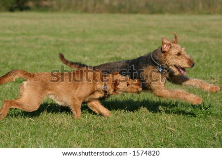 playing dogs - stock photo