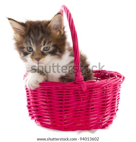 Playing Maine Coon kitten in pink basket - stock photo