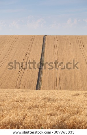 Pleated agricultural land with harvest of golden vheat against the blue sky with white clouds - stock photo