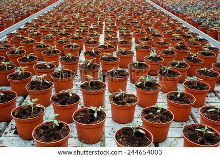 plenty of potted lettuce growing in greenhouse - stock photo