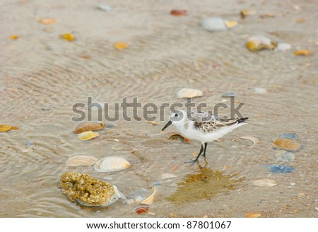 Plover Bird Wading Through Water Pooled on the Beach - stock photo