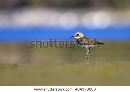 Plover Kentish Plover / Charadrius alexandrinus - stock photo