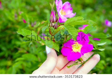 plucked the flowers of wild rose clouseup - stock photo
