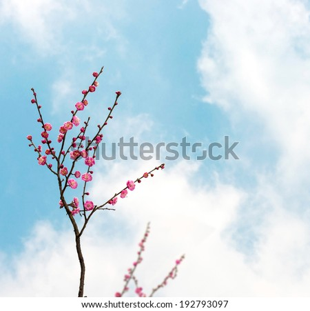 Plum blossoms in early spring. Located in Zijin Mountain Scenic Area, Nanjing City, Jiangsu Province, China. - stock photo