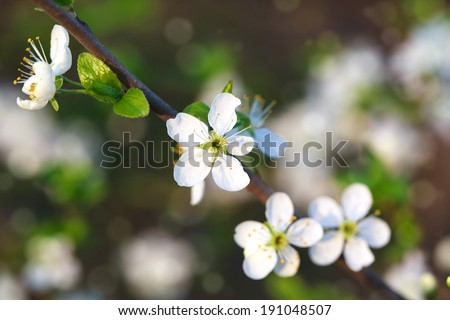 Plum blossoms on the branches in spring, background, Selective focus, some flowers in focus, some are not  - stock photo