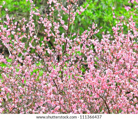 plum flower blossom - stock photo