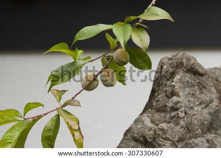 plum in the japanese garden - stock photo