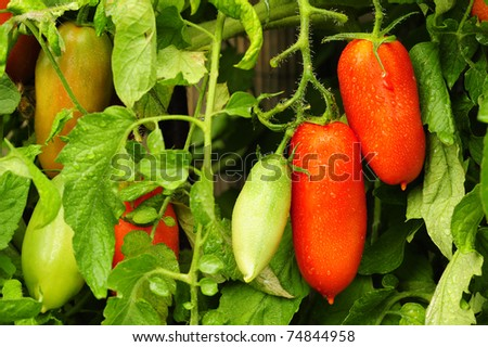 Plum tomatoes growing on the vine, after a shower of rain. - stock photo