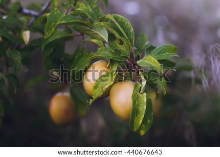Plum tree in the garden, the fruits ripen on the tree - stock photo