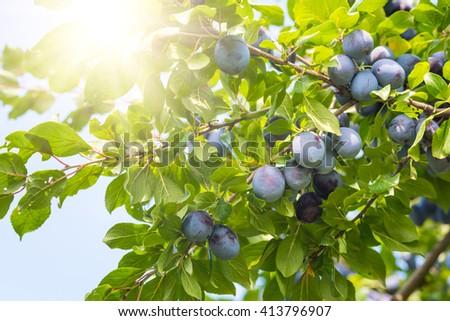 Plum tree with ripe juicy fruits in sunshine - stock photo