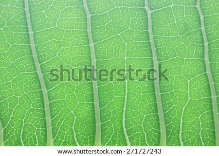 Plumaria leaf texture  - stock photo