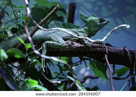 Plumed basilisk (Basiliscus plumifrons), also known as the green basilisk. - stock photo
