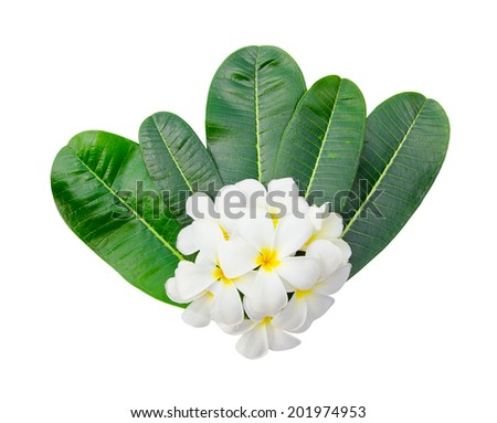 plumeria blossom and leaves on white background - stock photo