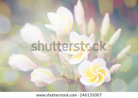 plumeria blossoms, beautiful flowers on a tree, with glares and bokeh - stock photo