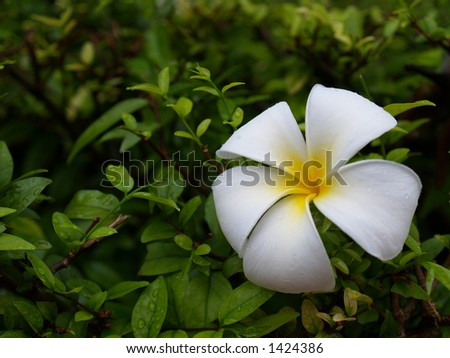 Plumeria flower in the garden - stock photo