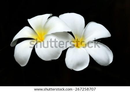 Plumeria flower on black background - stock photo