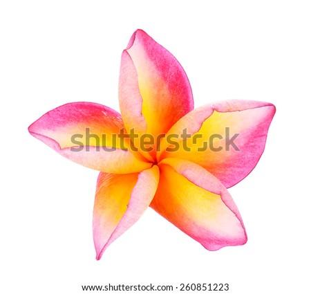 Plumeria flower on white background. - stock photo