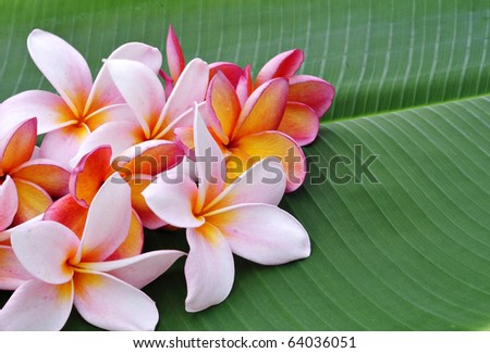 Plumeria flowers and banana leaf isolated - stock photo