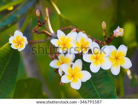 plumeria (frangipani) flowers grow on green branch - stock photo
