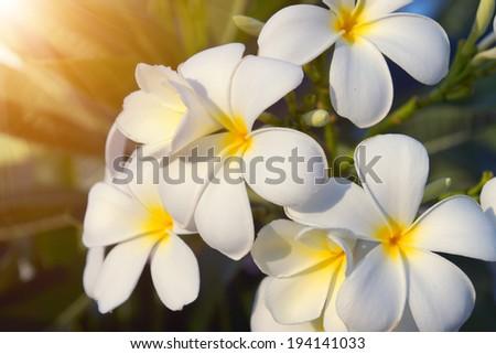 Plumeria (frangipani) flowers on tree - stock photo