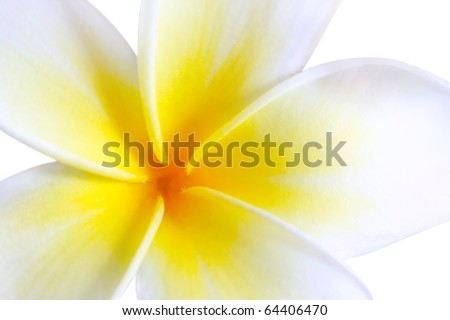 Plumeria (frangipani), in close-up.  Glorious white and golden tropical flower. - stock photo