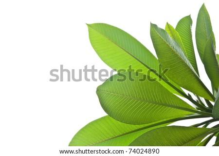 Plumeria leaves isolated on white background. - stock photo