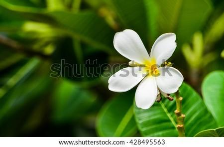 Plumeria on the plumeria tree, Frangipani tropical flowers.White plumeria flowers.Vintage Filter Effect White plumeria on the plumeria tree. - stock photo