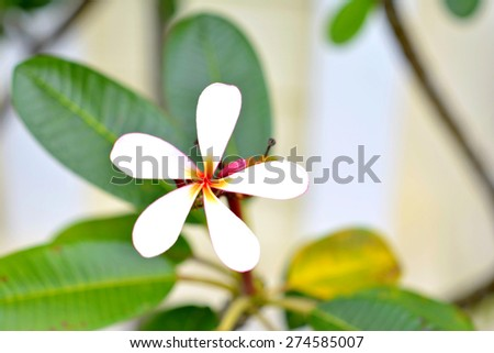 Plumeria on tree - stock photo