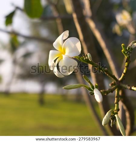 Plumeria or Frangipani flower, Tropical flower - stock photo