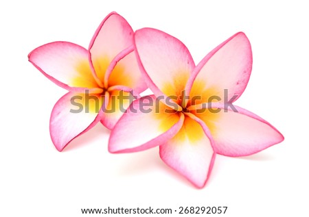 plumeria rubra flower isolated on White background - stock photo