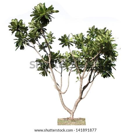 Frangipani Tree Drawing Plumeria Tree Frangipani