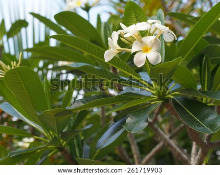 Plumeria tree with flowers - stock photo