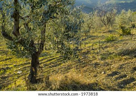 Plump Italian olive tree landscape 04. See more in my portfolio - stock photo