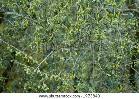 Plump Italian Olives on the tree 26. See more in my portfolio - stock photo