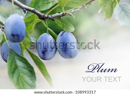 Plums on branch with copyspace - stock photo