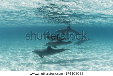 Pod of Bottle Nose Dolphins - stock photo