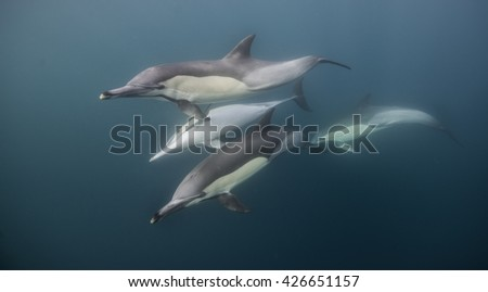 Pod of common dolphins, delphinus delphis, swimming off the east coast of Siuth Africa during the annual sardine run. - stock photo