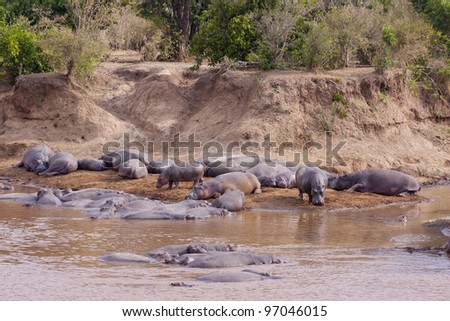 Pod of Hippo (Hippopotamus amphibius) lying out the water next to the Mara River in Kenya's Masai Mara Reserve - stock photo