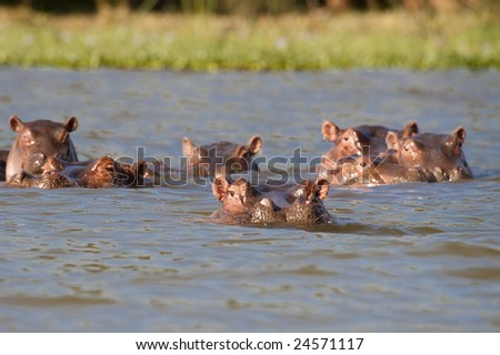 Pod of six Hippopotamuses (Hippopotamus amphibius kiboko) relaxing in shallow water of Naivasha lake, Kenya - stock photo