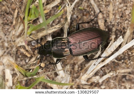Poecilus Cupreus Versicolor Poecilus Versicolor on Grass