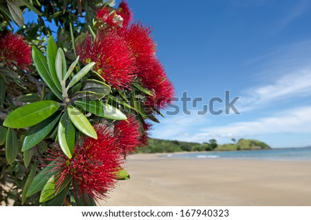 Pohutukawa red flowers blossom on the month of December in doubtless bay New Zealand. - stock photo