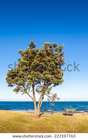 Pohutukawa tree (Metrosideros excelsa), a coastal evergreen tree endemic, in New Zealand. - stock photo